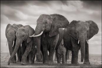 ELEPHANT FIVE, AMBOSELI 200