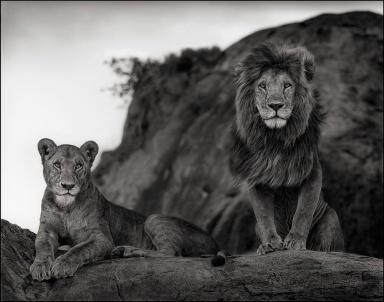 Lion Couple, Serengeti 2011