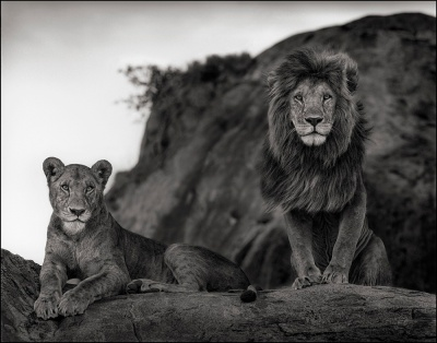 Lion Couple, Serengeti 2011
