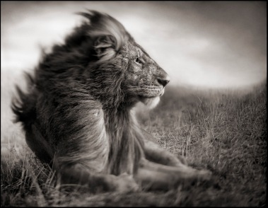 Lion Before Storm - Sitting Profile
